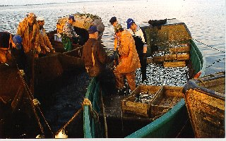 Small scale fishery for sprat, Gulf of Riga
